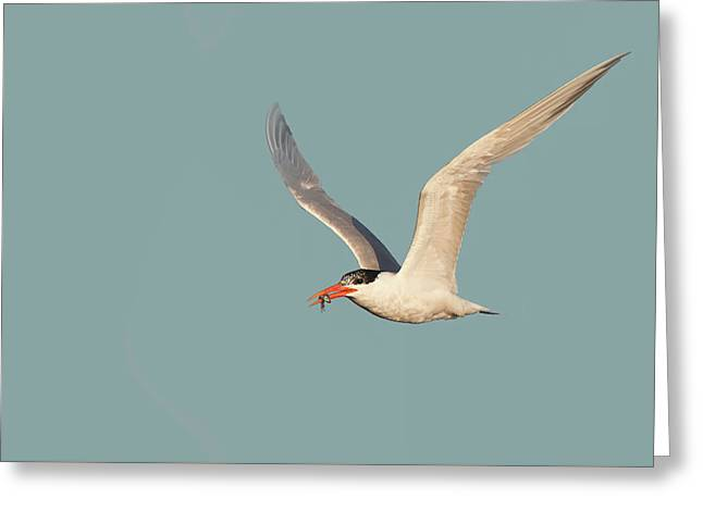 Catch Of The Day - Caspian Tern Huntington Beach California Greeting Card by Ram Vasudev