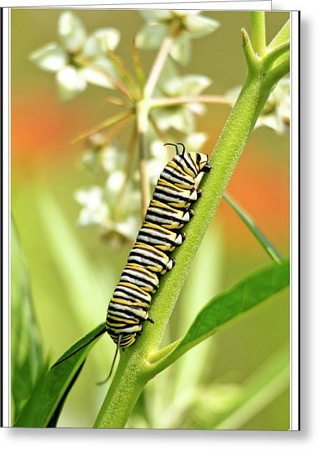 Caterpillar On Milkweed Plant Greeting Card by Geraldine Scull