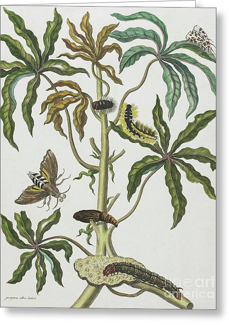 Caterpillars And Insects With Foliage Greeting Card by Maria Sibylla Graff Merian