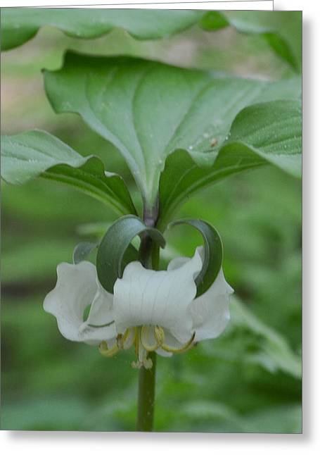 Greeting Card featuring the photograph Catesby Trillium by Linda Geiger
