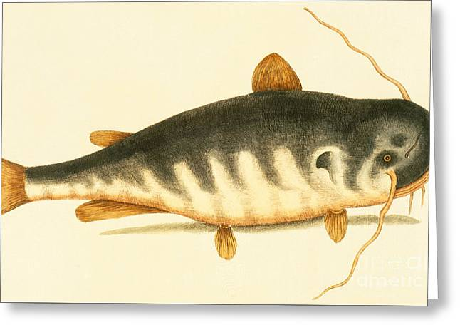 Catfish Greeting Card by Mark Catesby