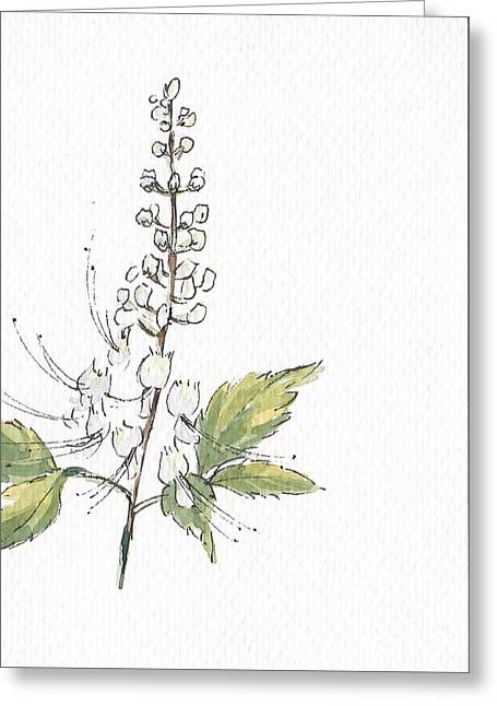 Cat's Whiskers, Orthosiphon Aristatus Greeting Card