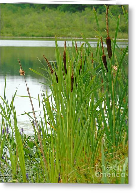 Cattails And Still Water Greeting Card
