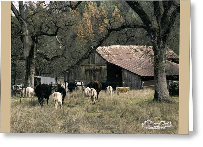 Cattle At Mccourtney Barn Greeting Card by William Havle