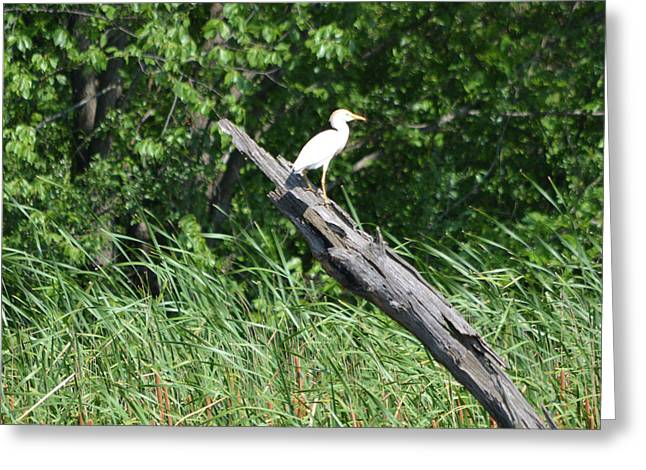 Cattle Egret 3 Greeting Card by Ruth Housley