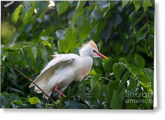 Cattle Egret At Rest Greeting Card