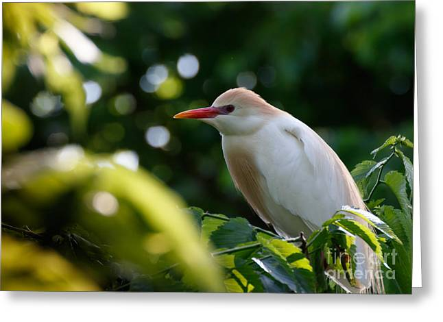 Cattle Egret In Oklahoma Greeting Card