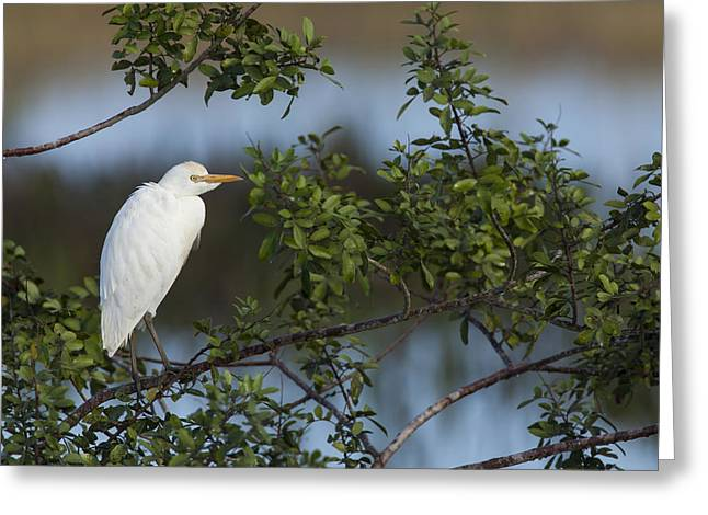 Cattle Egret In The Morning Light Greeting Card