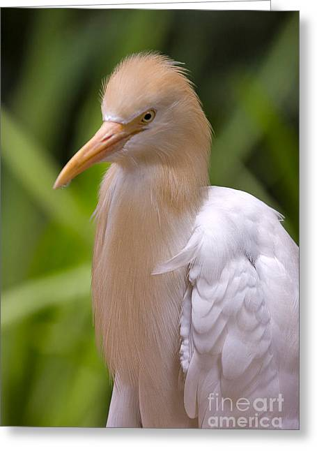 Cattle Egret Greeting Card by Louise Heusinkveld