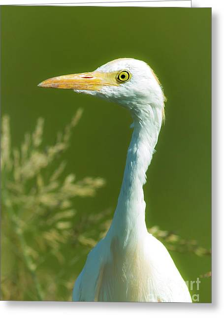 Cattle Egret  Greeting Card by Robert Frederick