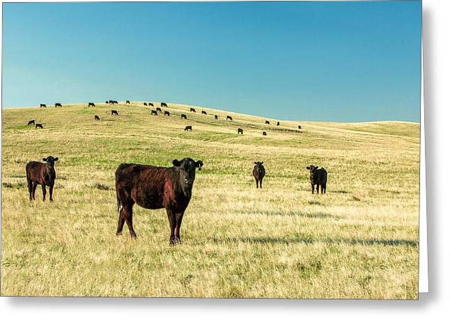Cattle Grazing On The Plains Greeting Card