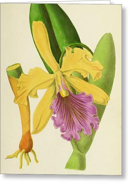 Cattleya Dowiana Greeting Card by E De Puydt