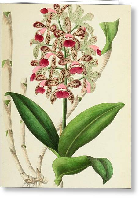 Cattleya Guttata Leopoldi Greeting Card by E De Puydt