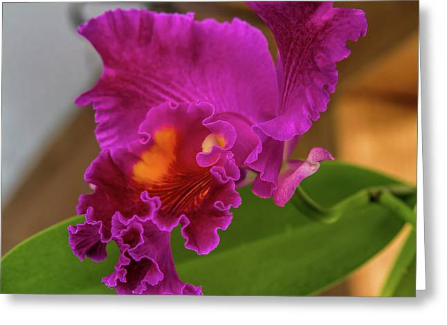 Cattleya Orchid Greeting Card by Alana Thrower