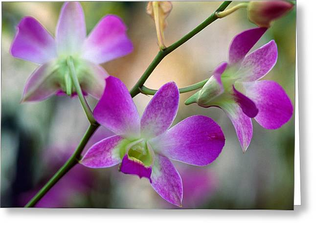 Cattleya Orchid Flower Blossoms, Close Greeting Card by Panoramic Images