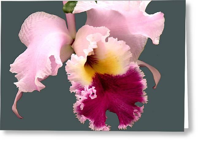 Cattleya Orchid Greeting Card by Rosalie Scanlon