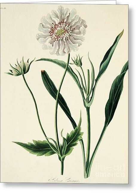 Caucasean Scabious Greeting Card by Margaret Roscoe