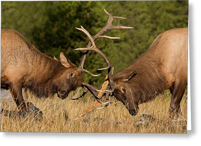 Caught In Battle Greeting Card by Sandy Sisti