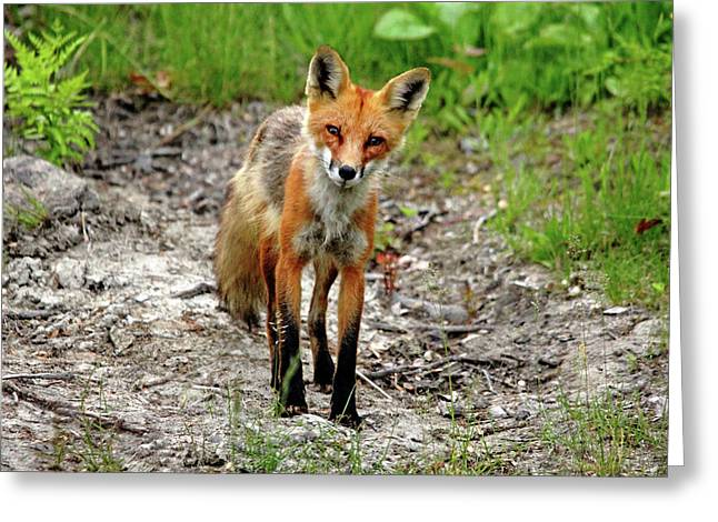 Cautious But Curious Red Fox Portrait Greeting Card by Debbie Oppermann