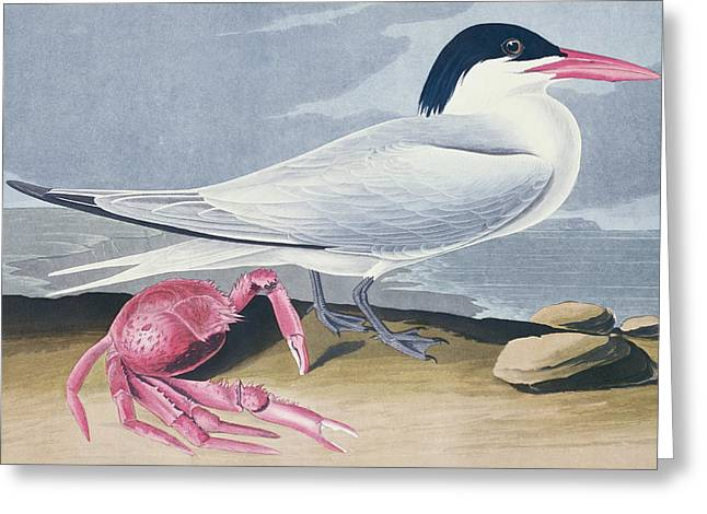 Tern Paintings Greeting Cards - Cayenne Tern Greeting Card by John James Audubon