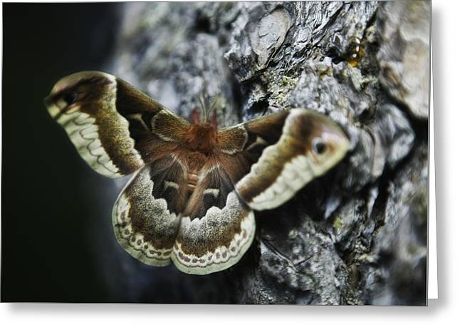 Cecropia Moth Greeting Card