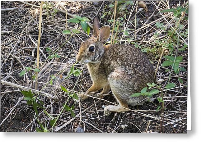 Cedar Hill Bunny Greeting Card