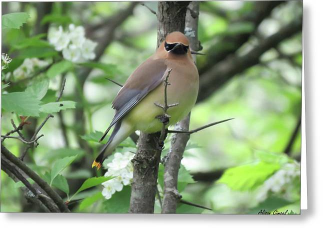 Cedar Wax Wing Greeting Card by Alison Gimpel