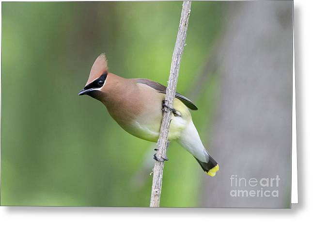 Greeting Card featuring the photograph Cedar Waxwing 1 by Chris Scroggins