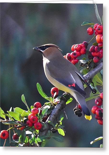 Cedar Waxwing 1 Greeting Card by Linda Brody
