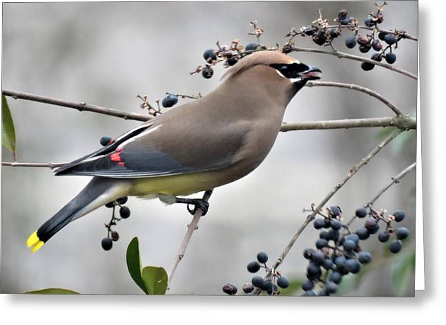 Cedar Waxwing 2 Greeting Card
