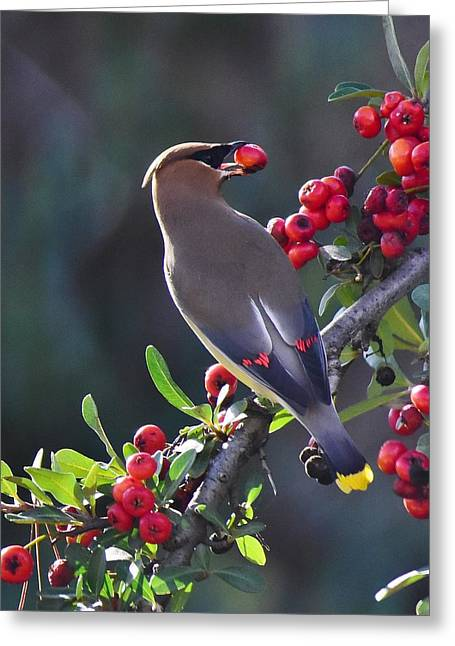 Cedar Waxwing 2 Greeting Card by Linda Brody
