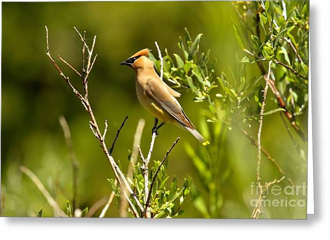 Cedar Waxwing At Glacier Greeting Card by Adam Jewell