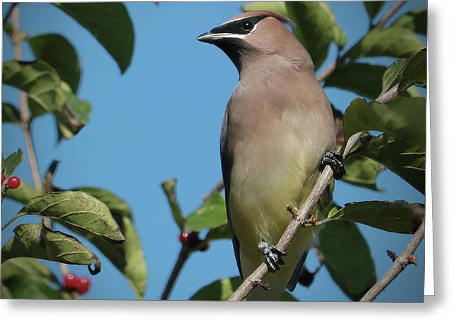 Cedar Waxwing At Rest Greeting Card