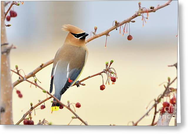 Cedar Waxwing Greeting Card by Betty LaRue