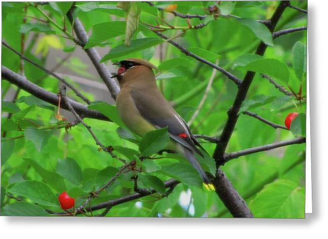 Cedar Waxwing Greeting Card