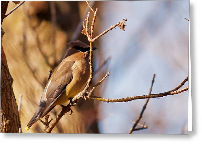 Cedar Waxwing In Autumn Greeting Card by Edward Peterson