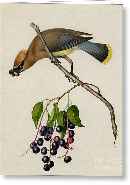 Cedar Waxwing Greeting Card by Celestial Images