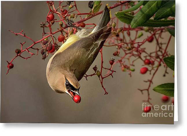 Cedar Waxwing With Toyon Berry Greeting Card