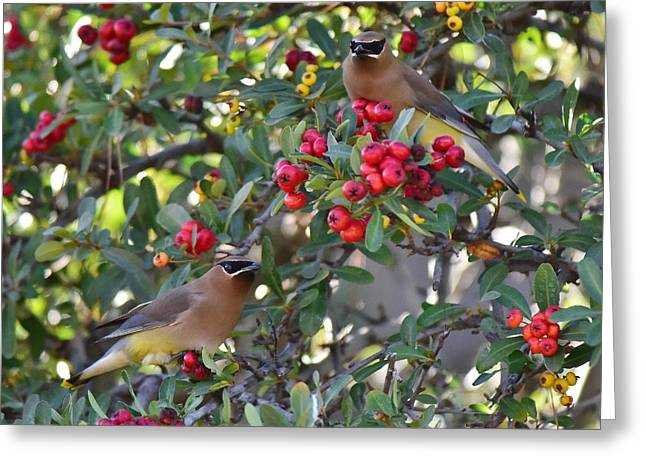 Cedar Waxwings 3 Greeting Card by Linda Brody