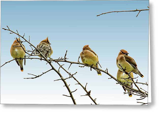 Cedar Waxwings Greeting Card by Geraldine Scull