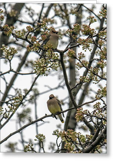 Cedar Waxwings In A Blossoming Tree Greeting Card