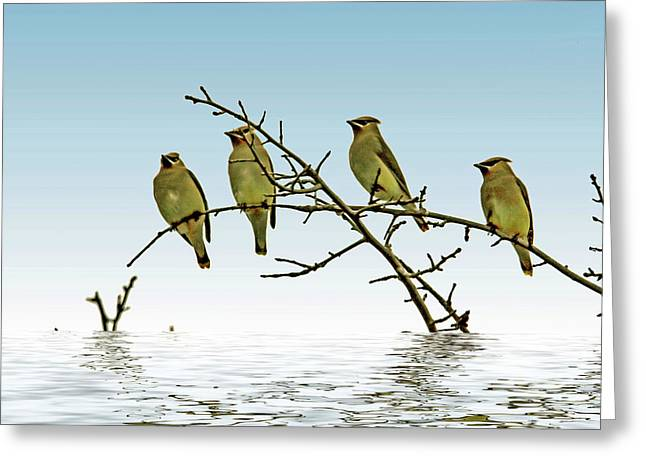 Cedar Waxwings On A Branch Greeting Card by Geraldine Scull