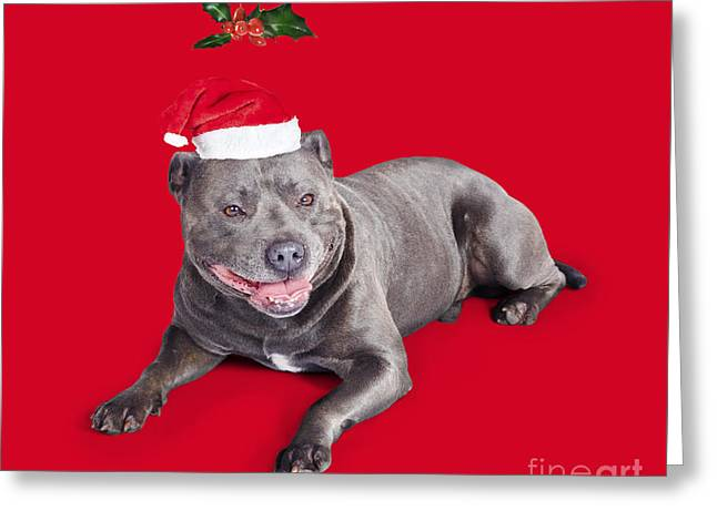 Celebrating Christmas With A Blue Staffie Dog Greeting Card