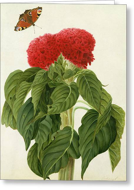 Celosia Argentea Cristata And Butterfly Greeting Card