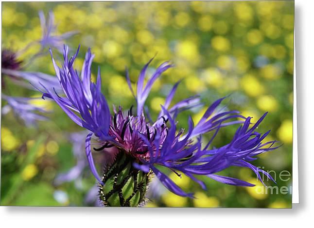 Centaurea Montana Flower Greeting Card