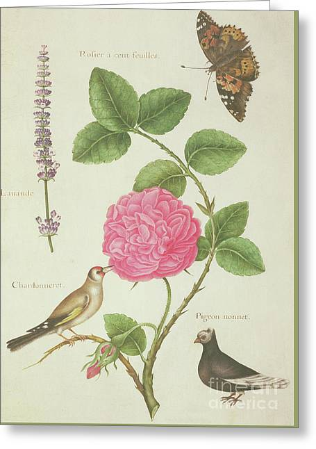 Centifolia Rose, Lavender, Tortoiseshell Butterfly, Goldfinch And Crested Pigeon Greeting Card by Nicolas Robert