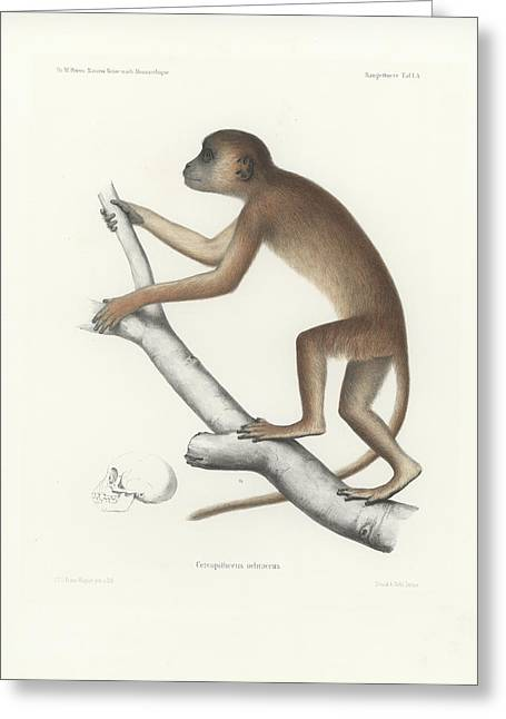 Central Yellow Baboon, Papio C. Cynocephalus Greeting Card by J D L Franz Wagner