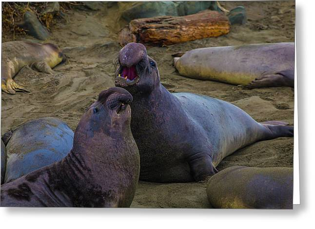 Challenging Elephant Seals Greeting Card by Garry Gay