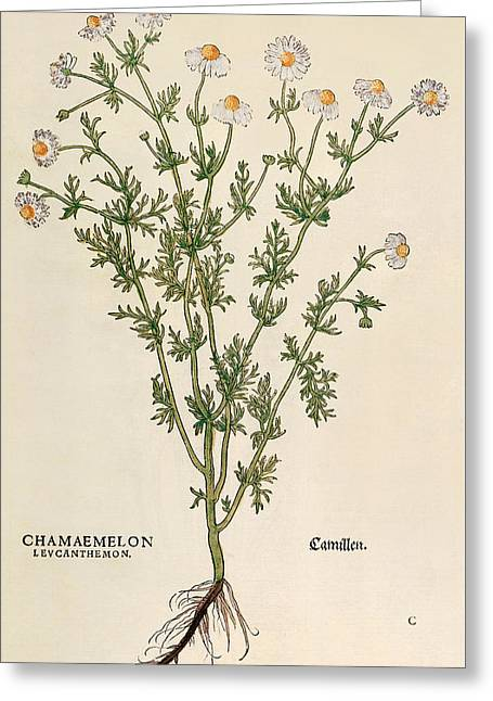 Chamomile Greeting Card by Leonhart Fuchs
