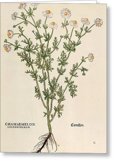 Chamomile Greeting Card by Leonhart Fuchs